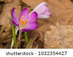 crocus  plural crocuses or... | Shutterstock . vector #1032354427