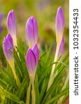 crocus  plural crocuses or... | Shutterstock . vector #1032354433