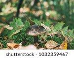 beautiful edible mushroom in... | Shutterstock . vector #1032359467