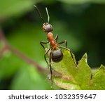 red ant rufa | Shutterstock . vector #1032359647