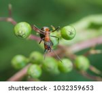 red ant rufa | Shutterstock . vector #1032359653