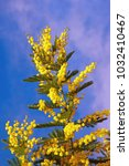 Small photo of Springtime. Yellow flowers of Acacia dealbata (mimosa) against blue sky