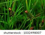 dandelion on nature | Shutterstock . vector #1032498007