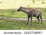 hyena in the african savanna | Shutterstock . vector #1032718897