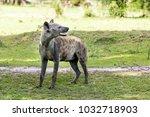 hyena in the african savanna | Shutterstock . vector #1032718903