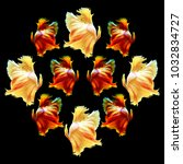 Small photo of group of beautiful Multi color Siamese fighting fish,Betta splendens,Orange ,white,red tone on black background,isolated.
