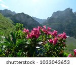 Small photo of alpine rose in the Muertschenstock range, canton Glarus, Switzerland