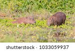 capybara  largest rodent in its ...   Shutterstock . vector #1033059937