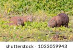 capybara  largest rodent in its ...   Shutterstock . vector #1033059943