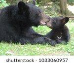 mother black bear nurturing her ... | Shutterstock . vector #1033060957