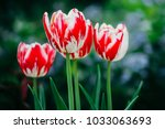 tulips in spring at the garden | Shutterstock . vector #1033063693