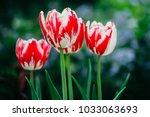 tulips in spring at the garden | Shutterstock . vector #1033063693