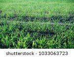young sprouts of wheat | Shutterstock . vector #1033063723
