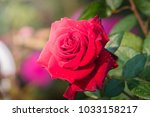 Stock photo roses in the garden roses are beautiful with a beautiful sunny day 1033158217