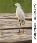 egret stand alone in the park   ...   Shutterstock . vector #1033261297