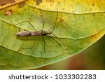 Small photo of Image of Lesser Rice Bug (Leptocorisa acuta) on green leaves. Alydidae. Insect, Animal.