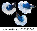 Small photo of group of beautiful Multi color Siamese fighting fish,Betta splendens,white and blue tone on black background,isolated.