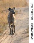 lone hyena walking along a dirt ... | Shutterstock . vector #1033362463