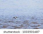 male goldeneye flying  | Shutterstock . vector #1033501687