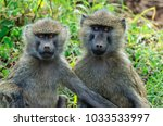 the olive baboon  also called... | Shutterstock . vector #1033533997