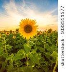 Sunflower Field Landscape Clos...