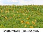 yellow flower of esculenta   Shutterstock . vector #1033554037