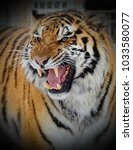 the amur or ussuri tiger  or...   Shutterstock . vector #1033580077
