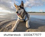 husky dog having fun at the... | Shutterstock . vector #1033677577