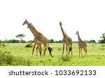 herd of masai giraffe  giraffa...   Shutterstock . vector #1033692133