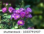 Stock photo abundant flowering of sunlit bush lilac violet floribunda rose on blurred background closeup 1033791937