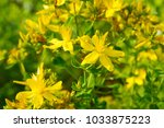 macro closeup of yellow flowers ... | Shutterstock . vector #1033875223