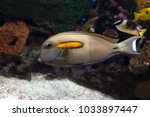 Small photo of Orange band Surgeonfish (Acanthurus olivaceus) marine fish.