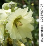 Small photo of Rod-rose Crimean (Alcea taurica)