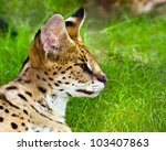 Profile Portrait Of Serval ...