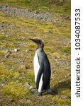 a juvenile king penguin that is ... | Shutterstock . vector #1034087533