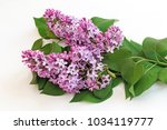Branch Of Lilac With Beautiful...