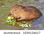 ordinary beaver  or river... | Shutterstock . vector #1034126617