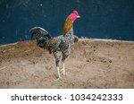 Chicken Fighting Thailand