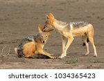 the pair of black backed jackal ... | Shutterstock . vector #1034365423