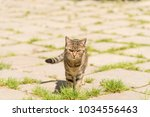 cat walking on the street... | Shutterstock . vector #1034556463