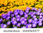 purple and wellow crocuses... | Shutterstock . vector #1034565577