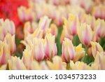 Blushing Beauty Tulips Bloomin...