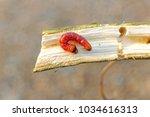 stem borer in the limb | Shutterstock . vector #1034616313