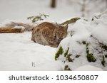 eurasian lynx  lynx lynx ...   Shutterstock . vector #1034650807