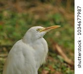the great egret  ardea alba    Shutterstock . vector #1034677987