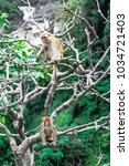 Small photo of The Rhesus Macaque is also known as the Rhesus Monkey. It belongs to the Old World category and is among the best known. These are small Monkeys with pink faces.