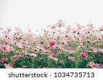 cosmos flowers background in...   Shutterstock . vector #1034735713