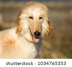 portrait of white afghan hound... | Shutterstock . vector #1034765353