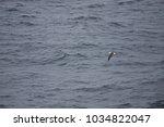 black browed albatross  drake... | Shutterstock . vector #1034822047