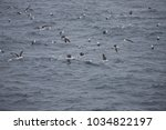 black browed albatross  drake... | Shutterstock . vector #1034822197